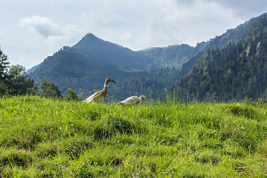 Die Laufenten genießen die Aussicht auf die Brecherspitz.