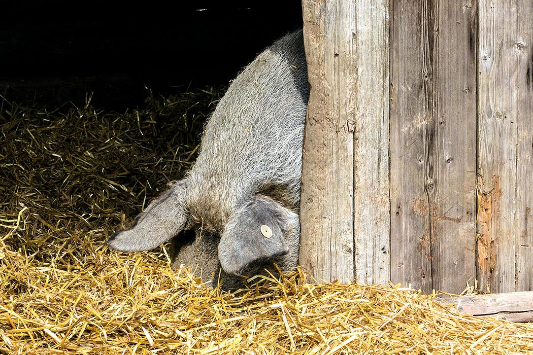 Den Wollschweine ist die Sonne zu warm - kein Wunder bei der dicken Wolle!