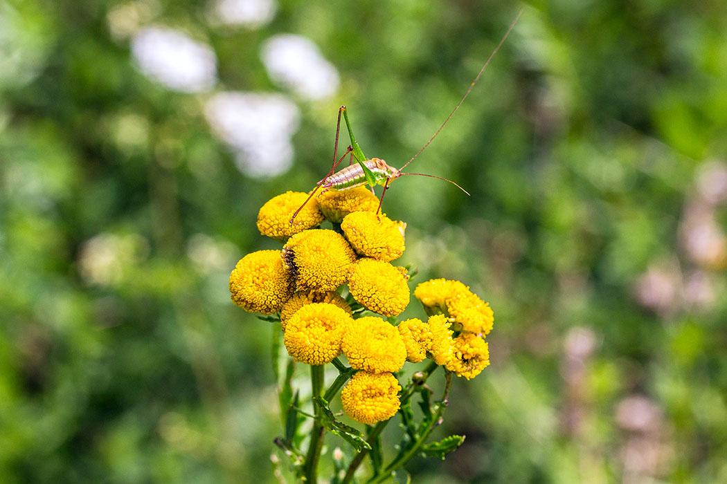 Die kleine punktierte Zartschrecke (Leptophyes punctatissima) sitzt auf einem blühenden Rainfarn (Tanacetum vulgare). Die Zartschrecke gehört zu den Langfühlerschrecken und verzehrt tierische wie auch pflanzliche Kost.