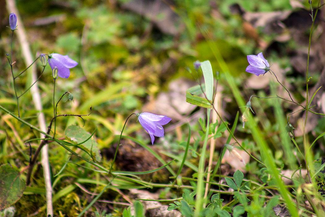 Die Rundblättrige Glockenblume (Campanula rotundifolia) kommt von Europa bis Sibirien und zum fernöstlichen Russland vor und bevorzugt trockene Magerwiesen, Weiderasen, Waldsäume und felsige Standorte.