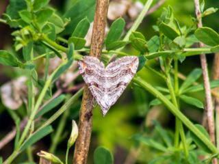 Der Zünslerfalter (Pyraloidea) bildet mit wltweit etwa 16000 Arten weltweit eine der größten Familien der Schmetterlinge. Einige Arten sind in der Roten Liste der gefährdeten Tiere Deutschlands enthalten.