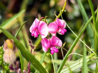Die Zaun-Wicke (Vicia sepium) ist eine Pflanze der Familie der Hülsenfrüchtler und auch eine eiweißreiche Futterpflanze.