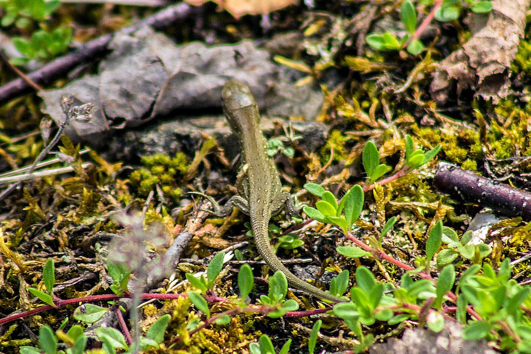Die Zauneidechse (Lacerta agilis) ist eine gefährdetes Reptil und befindet sich auf der Roten Liste, Stufe V. Ihr Lebensraum sind Magerbiotope, wichtig sind Vorkommen von Totholz und Altgras.