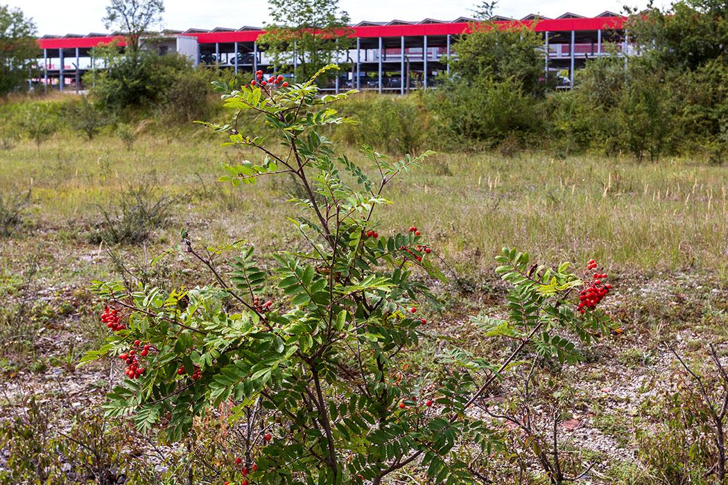 Das Parkhaus von Möbel Höffner schließt direkt an das Biotop im Aubinger Gleislager an. Im Vordergrund eine Vogelbeere oder Eberesche (Sorbus aucuparia).