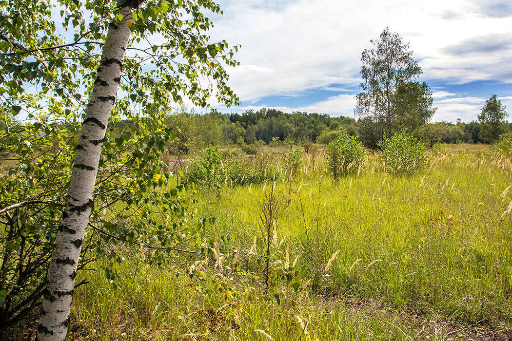 neuaubing gleislager muenchen freimann steppe birke wiese Die Landschaft im Neuaubinger Gleislager wirkt teilweise ähnlich wie in einer Steppe oder Tundra. Bevorzugt haben sich hier auf Mager- und Steppenrasen spezialisierte Pflanzen angesiedelt.