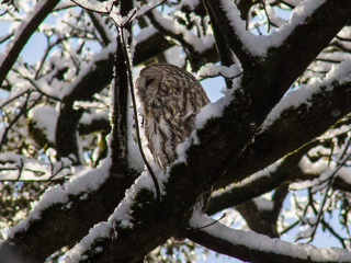 Auch im Winter machen die Waldkäuze in Nymphenburg eine gute Figur.