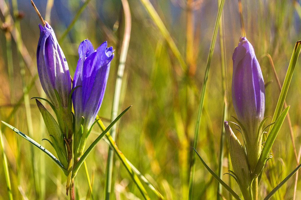 Der Lungen-Enzian (Gentiana pneumonanthe) wächst bevorzugt im Moor und ist durch Trockenlegung von Feuchtwiesen und stark gefährdet.