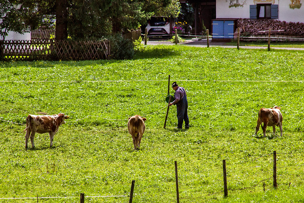 """Ein Bauer versetzt für die Kälber die Abspannung der Weide. Flink sind die Tiere auf der """"neuen"""" Wiese mit den saftigen Gräsern."""