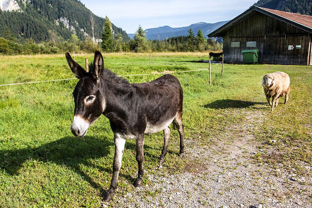 ettaler muehle, graswangtal, ammergauer alpen, Esel sind neugierig, intelligent, gesellig und brauchen unbedingt einen Artgenossen um glücklich zu sein. Bei der Scheune ist auch der zweite Esel sichtbar, der allerdings nicht so interessiert ist wie das knuffige Schaf. Sind die beiden vieleicht echte Kumpel?