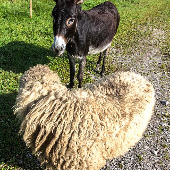 """""""Was machen wir jetzt mit denen!"""" flüstert das Schaf zum Esel."""