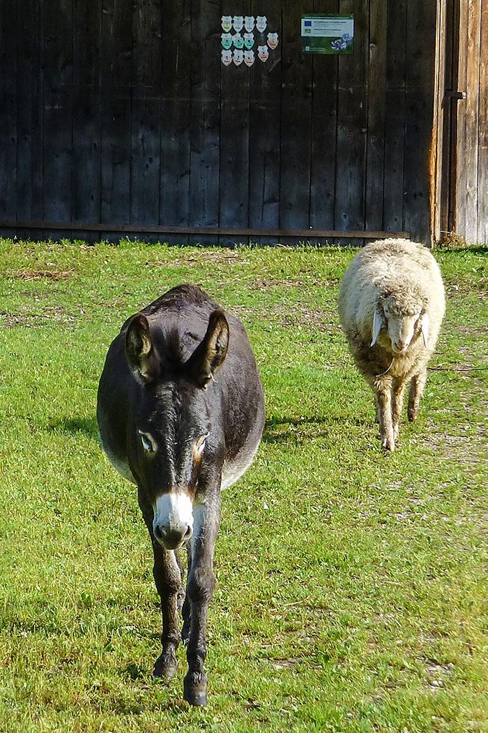 Auf unsere freundlichen Lockrufe kommt ein Esel und ein Schaf neugierig zum Gatter der Weide.