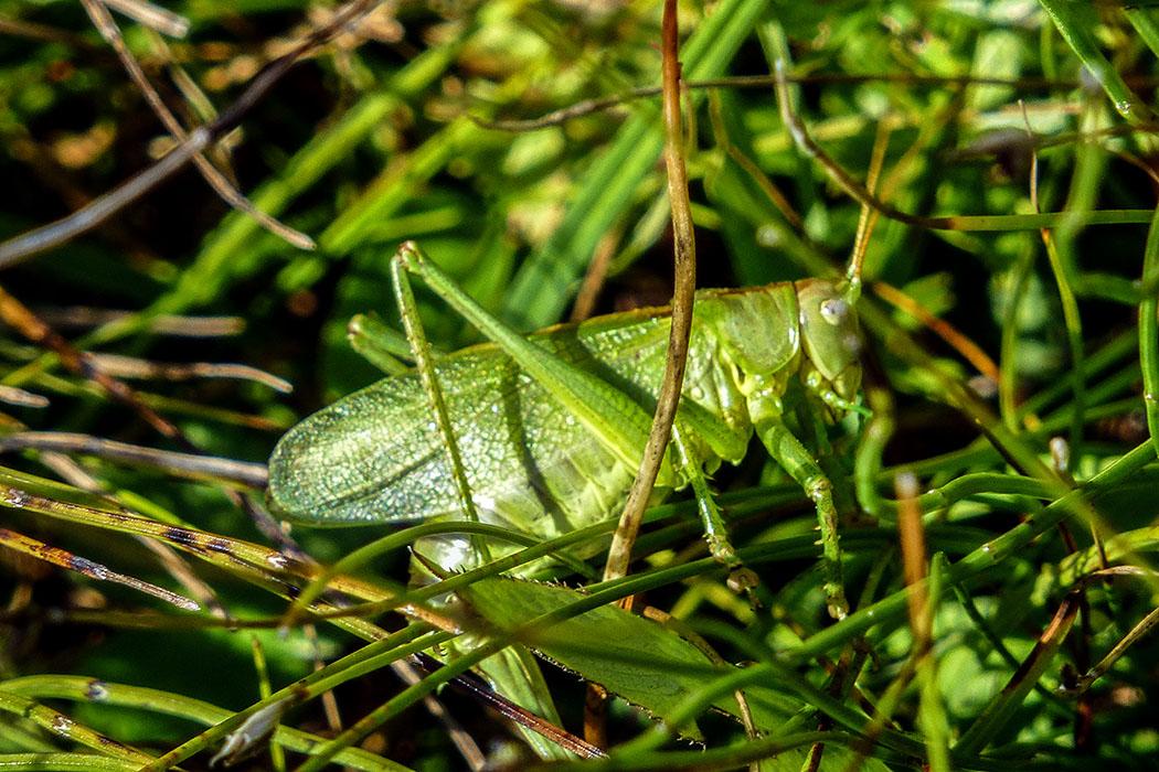 Grünes Heupferd (Tettigonia viridissima) ist eine der größten in Europa vorkommenden Langfühlerschrecken und kommt häufig vor. Heupferde ernähren sich hauptsächlich räuberisch von Insekten und deren Larven.