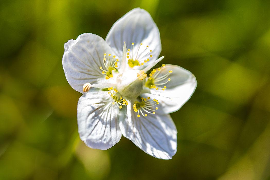 Das Sumpf-Herzblatt (Parnassia palustris) ist in Deutschland auf der Roten Liste der gefährdeten Pflanzenarten.