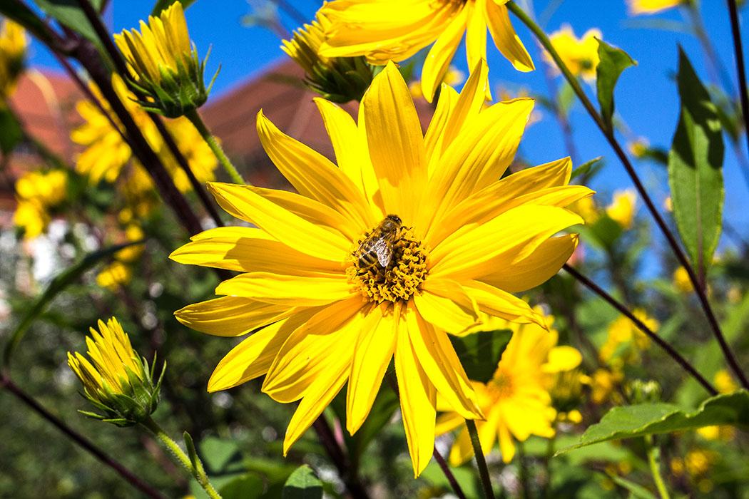 Die Bienen finden reichlich Nektar im Klostergarten.