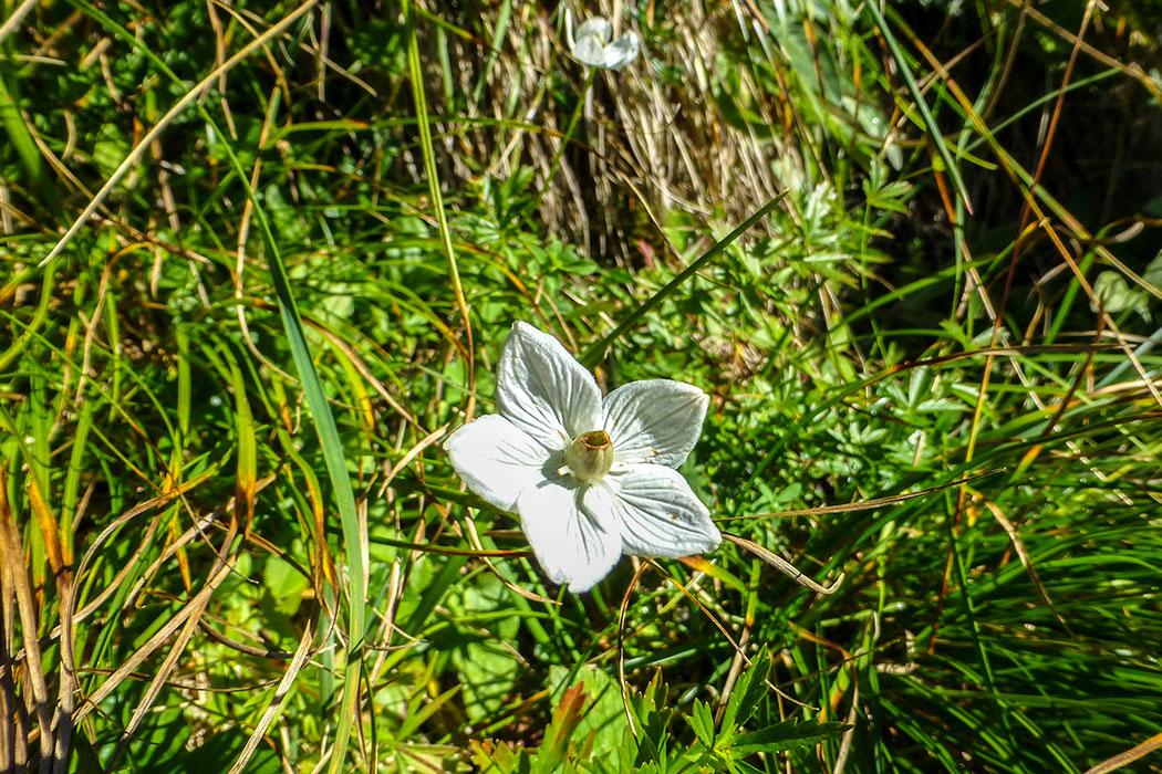 Das Sumpf-Herzblatt (Parnassia palustris) wird auch Studentenröschen genannt und scheint die warme Sonne zu genießen.