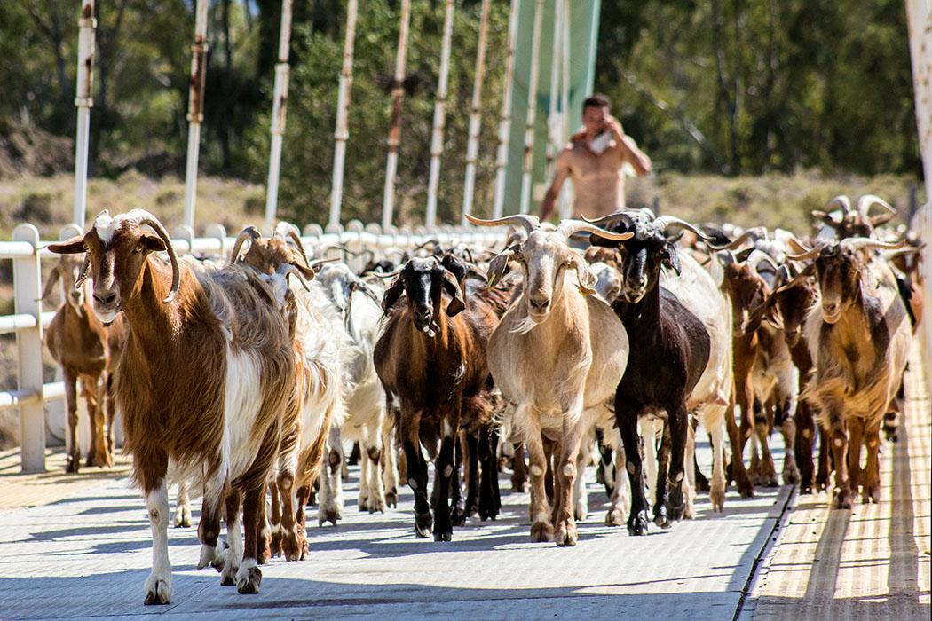 kalender-peloponnes-griechisches-urgestein-von-grandioser-schoenheit-09 goats shepherd corinth canal peloponnes greece