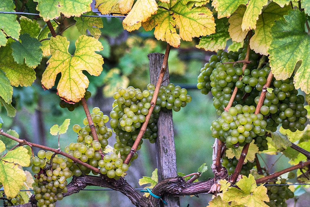 Ab Mitte Oktober sind in der Wachau die Trauben an den Rebstöcken bereit zur Weinlese.