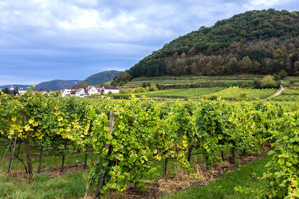 In den Weingärten um Rossatz gedeihen die Rebsorten Grüner Veltliner, Blauer Zweigelt, Gelber Muskateller, Sauvignon blanc, Traminer, Cabernet Sauvignon und Rheinriesling.