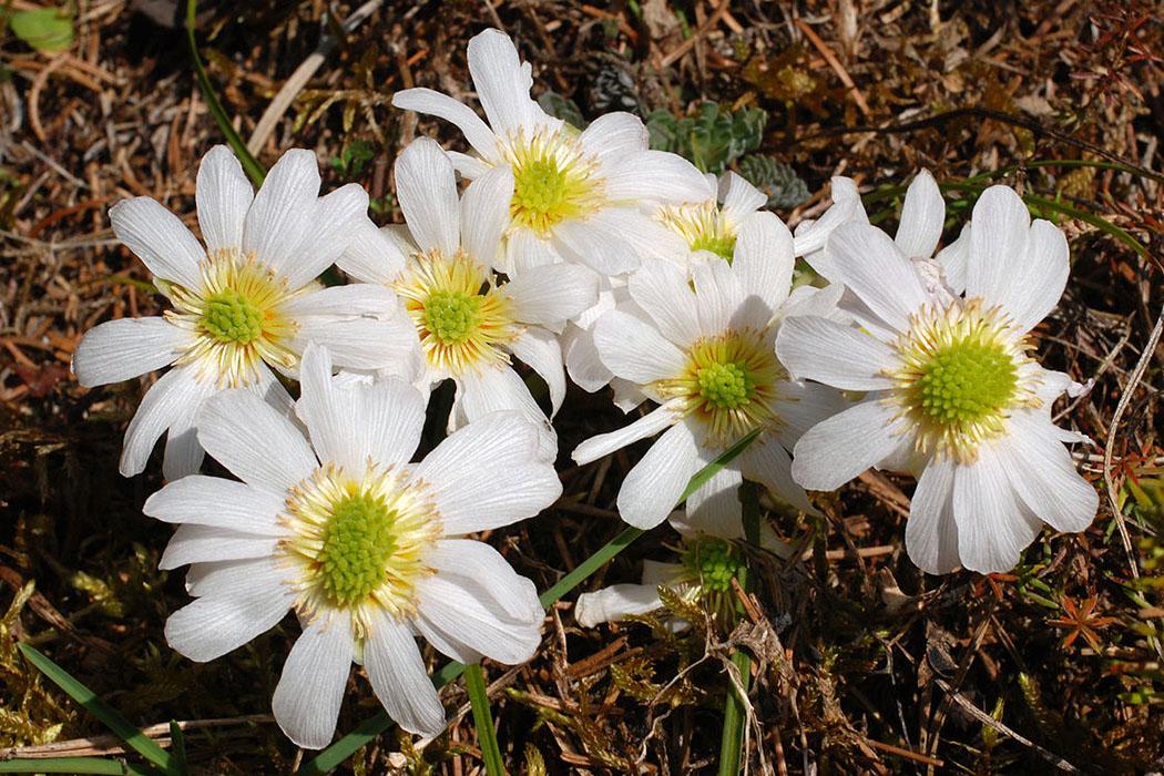 Kerners Schmuckblume, Monte Baldo, Callianthemum kernerianum Kerners Schmuckblume (Callianthemum kernerianum) ist am Monte Baldo endemisch. Das Hahnenfußgewächs blüht im Mai/Juni im Magerrasen und Steinschutt. Foto: www.wikiwand.com