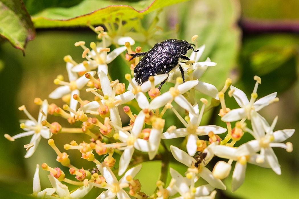 Ein Speckkäfer (Attagenus punctatus) beim verspeisen von Pollen.