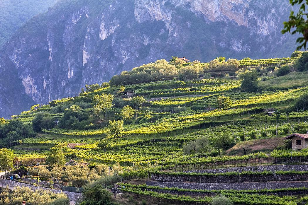 garda trentino tenno steinterrassen wein oliven cologna volta di no gardasee italien Perfekte Lagen für Weinbau und Olivenkulturen im Norden vom Gardasee: Die gepflegten Steinterrassen oberhalb vom Dorf Cologna, im Weiler Volta di No.