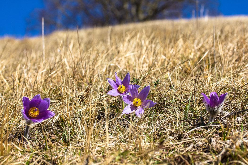 Küchenschellen bevorzugen warme, sonnige, windgeschützte und trockene Standorte mit kalkhaltigen, durchlässigen und nährstoffarmen Böden - wie am Tumuli des Hirschbergs bei Pähl.