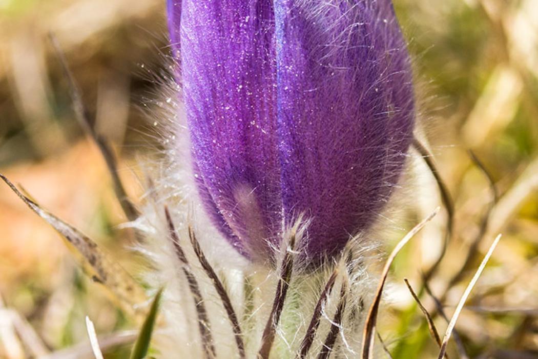 """Die Küchenschelle hieß einst """"Kühchen-Schelle"""", eine Verniedlichungsform von Kuhschelle. Der Bezeichnung Kuhschelle kommt daher, dass die Form einer halb geöffneten Blüte einer Kuhglocke ähnelt."""