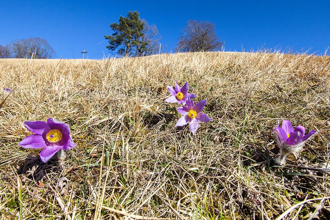 Ammersee: Küchenschellen-Blüte im Biotop am Hirschberg bei Pähl