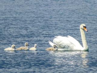 Eine Schwanen-Mama mit ihren vier Küken schwimmt in Ufernähe.