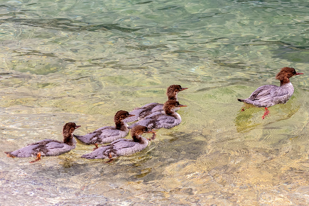 Die Gänsesäger-Mama (Mergus merganser) hat auch ordentlich zu tun. Gleich fünf Jungvögel hat sie zu betreuen.