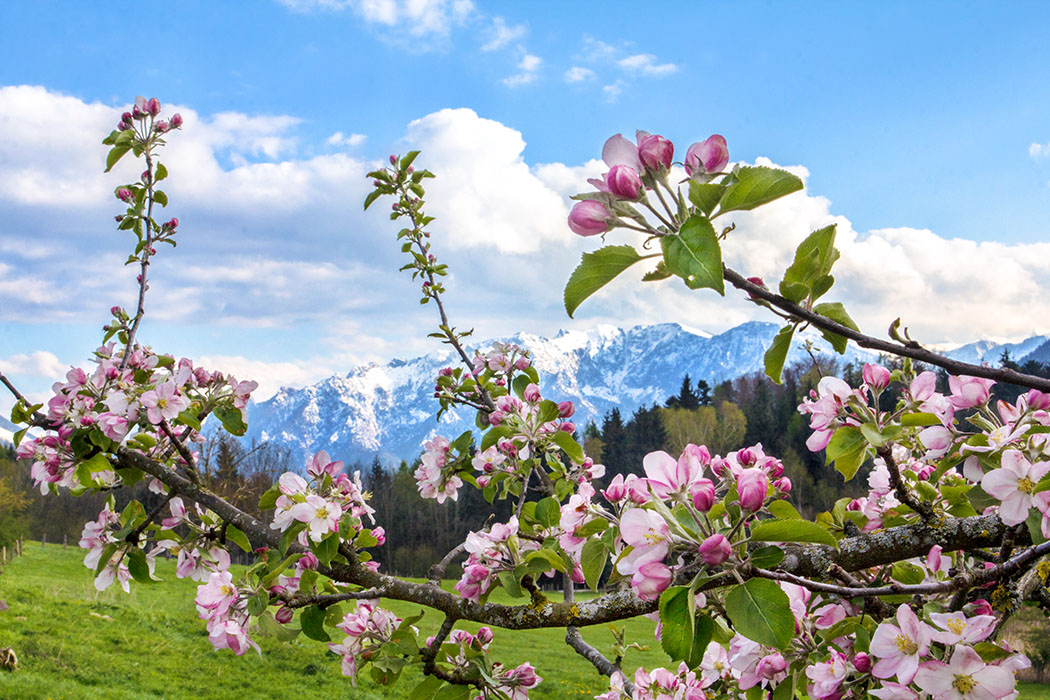 Oberbayern: 10 Ausflüge im Berchtesgadener Land und Salzburg - Oberbayern, Berchtesgadener Land, Rupertiwinkel, Piding, Johannishoegl, Bienenweg, Apfelbau, Blüten, April 2017