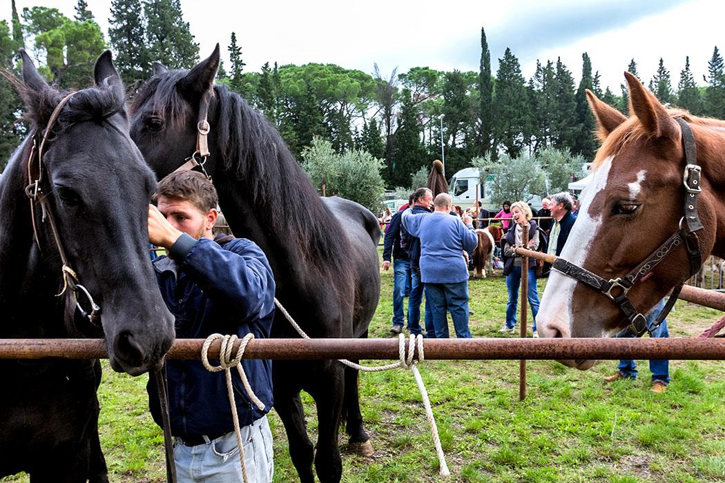 """Unsere 3 Lieblingsreiseziele in Italien - reise-zikaden.de, Monika Hoffmann, italy, tuscany, impruneta, Fiera di San Luca, horses. - Jedes Jahr im Oktober wird in Impruneta, südlich von Florenz, ein uralter Vieh- und Jahrmarkt, die """"Fiera di San Luca"""" abgehalten. Bei zwei schwarzen Pferden werden die Halfter angebracht. Ein neugieriger """"Brauner"""" schaut dabei zu."""