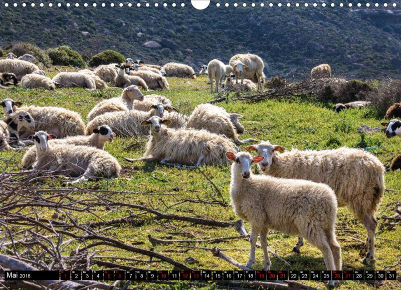 Fotokalender: Ostkreta - Zwischen Sitia und Ierapetra - Bei Moni Toplou: Schafherde im Frühling. Die Schafsmilch wird zum beliebten Fetakäse verarbeitet