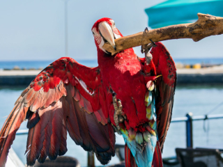 Ein zahmer Roter Ara (Ara macao) möchte spielen und zeigt uns eine Turneinlage.
