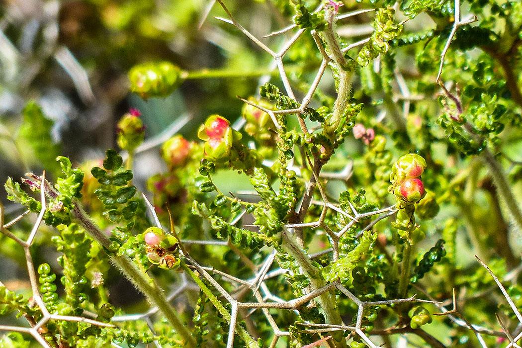 Dornige Bibernelle (Poterium spinosum). - reise-zikaden.de, Griechenland, Kreta, Heraklion, Archanes, Dornige Bibernelle, Poterium spinosum