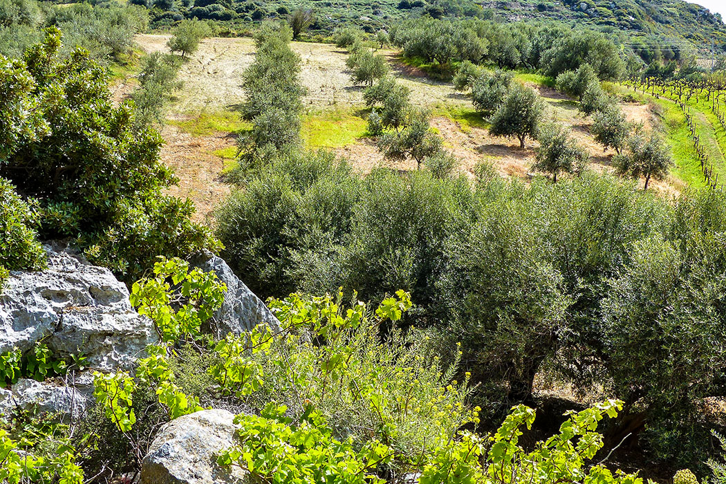 Am Fuß des Jouchtas-Massivs gedeihen Oliven und Wein besondert gut. - reise-zikaden.de, Griechenland, Kreta, Heraklion, Archanes, Jouchtas, Natur, Wein, Oliven