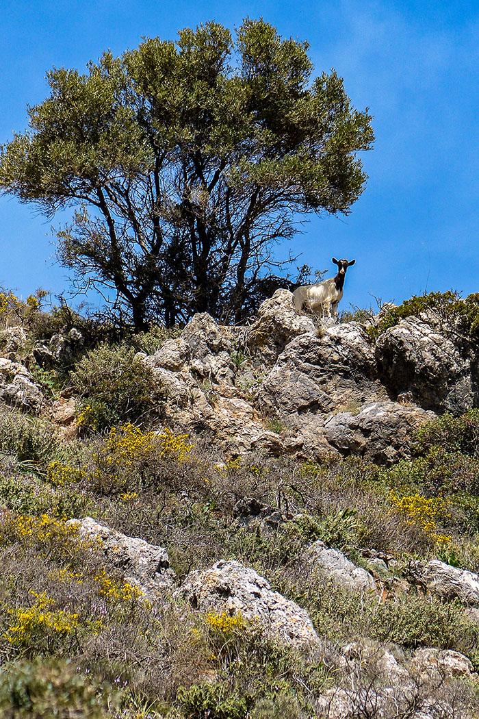 reise-zikaden.de, Griechenland, Kreta, Heraklion, archanes, jouchtas, ziege - Eine neugierige Ziege beobachtet uns bei der Fototour zu den botanischer Raritäten im Jouchtasgebiet.