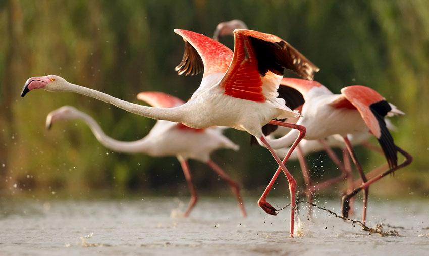 Phoenicopterus_roseus - Auch der Rosa Flamingo (Phoenicopterus roseus) kann im Schutzgebiet der Saline di Tarquinia beobachtet werden. Foto: Wikipedia, Martin Mecnarowski