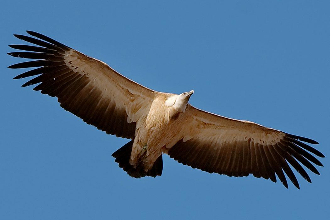 """griffon vulture_Gaensegeier_Gyps fulvus_ol - Auf dem Jouchtas gibt es eine Kolonie von Gänsegeiern (Gyps fulvus). Er wurde als Vogelschutzgebiet in das EU-Netz """"Natura 2000"""" aufgenommen. Foto: Wikipedia, Matthias Kabel"""