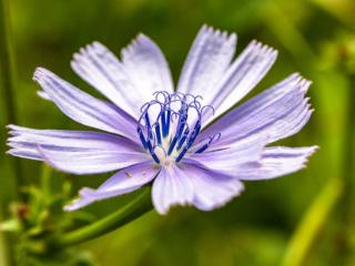 Die Wegwarte (Cichorium intybus) bevölkert in der Toskana ganze Wiesen und Hänge. Traditionell findet sie Verwendung als Salat oder Gemüse, wird aber auch als Arznei genutzt.
