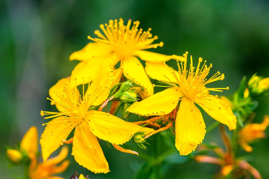 Johanniskraut (Hypericum perforatum) ist eine uralte Heil- und Zauberpflanze. Die Blütezeit um den Johannistag am 24. Juni war Anlass zur Namensgebung.
