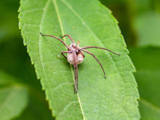 Die Kräuseljagdspinne (Zoropsis spinimana) baut kein Netz, sondern wartet auf Beutetiere, welche mit den Vorderbeinen zu den Kieferklauen geführt werden. Anschließend erfolgt der Giftbiss.