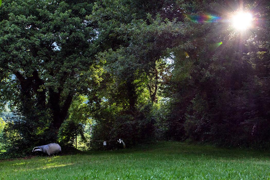 """dachse - Die Beobachtung von einem Dachs (Meles meles) mit Jungtier der mehrmals die Wiese am Ferienhaus """"Madonna del Piano"""" überquerte war eines der Höhepunkte unserer Ferientage im Valle di Pavone bei Castelnuovo."""