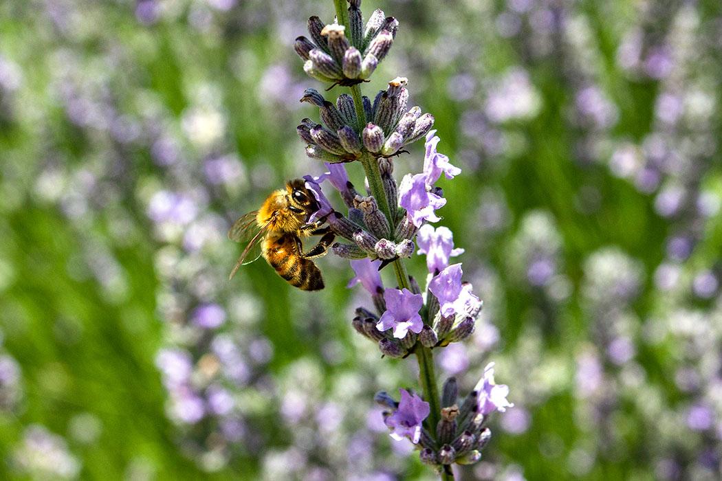 Lavendel als Bienenweide bietet Bienen und Hummeln Nahrung und verleiht dem Garten oder Balkon ein wunderschönes, mediterranes Ambiente.