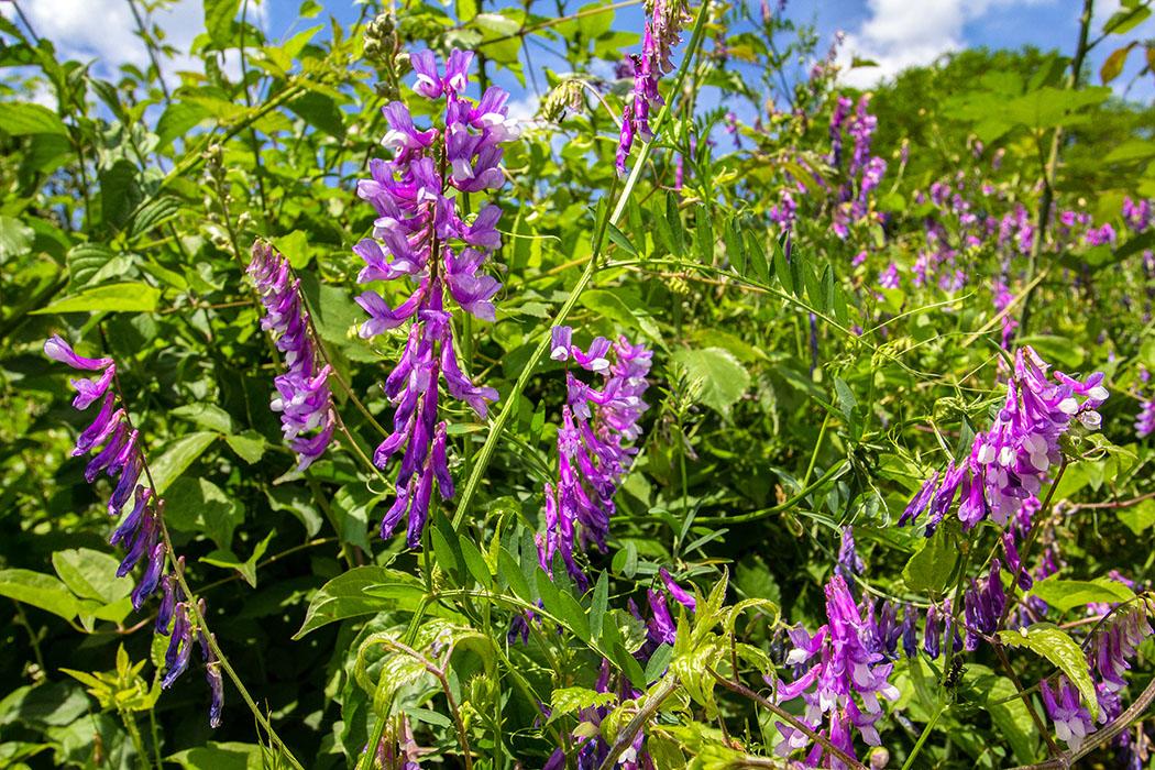 Die Zottige Wicke (Vicia villosa) blüht ab Juni vor allem an Wegrändern und in Äckern und wird gerne von Bienen besucht.