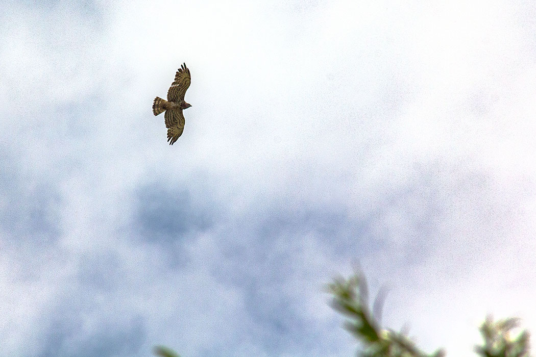 Der Schlangenadler (Circaetus gallicus) ist mit einer Spannweite bis 180 Zentimetern und einer Länge von 70 Zentimetern ein großer Greifvogel.