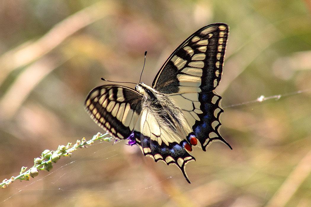 Der Schwalbenschwanz (Papilio machaon) zählt zu den schönsten Tagfaltern und ist  einer der größten Schmetterlinge Europas.