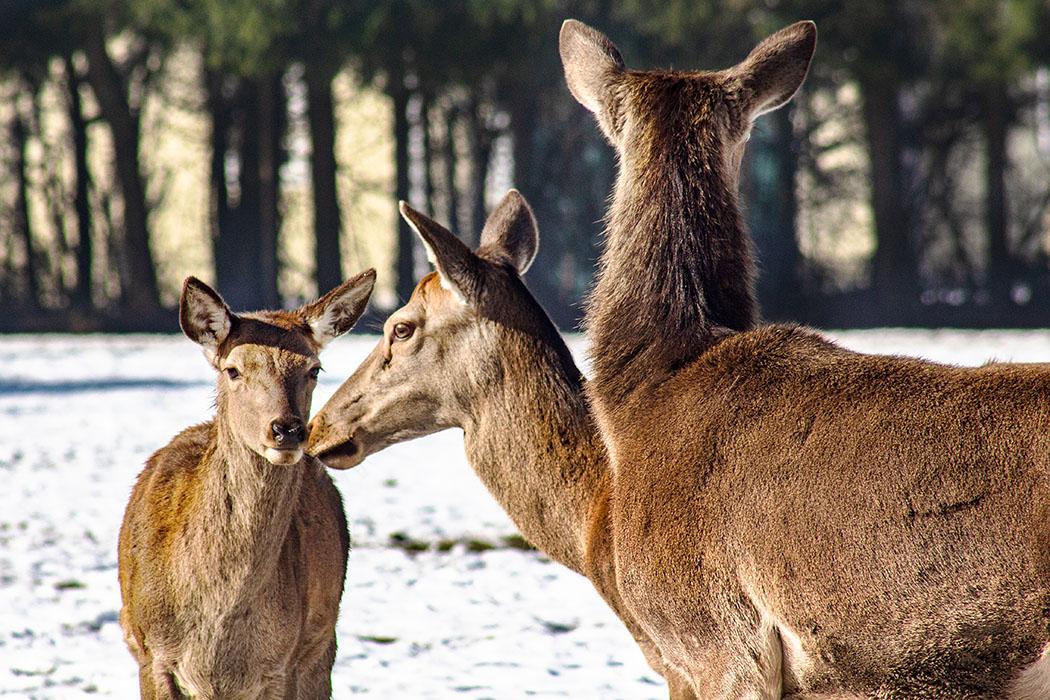reise-zikaden.de, bayern, muenchen, poing, wildpark, rotwild