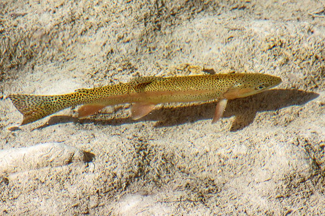 reise-zikaden.de, oberbayern, karwendel, isar, wallgau, obere isar, oberes isartal, bachsaibling, Salvelinus fontinalis - Der Bachsaibling (Salvelinus fontinalis) ist einer der schönsten und farbenprächtigsten Vertreter der Salmoniden (Lachsfische) und stammt ursprünglich aus Nordamerika. Diesen Bachsaibling haben wir in einem flachen Becken unter der Holzbrücke bei Ochsensitz (Parkplatz P9) beobachtet.