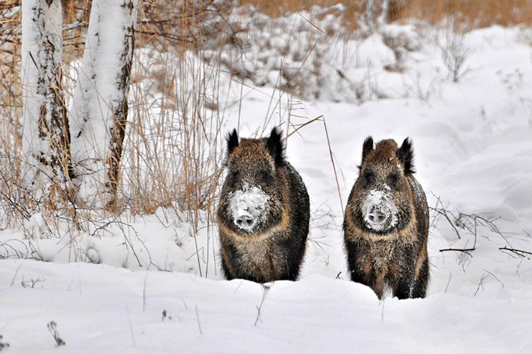 wildschweine - Highlight an der Grünwalder Sauschütt ist die Fütterung der Wildschweine im Wildgehege die fröhlich grunzend und quietschend über Brot, Kartoffeln oder Äpfel herfallen. Foto: Wikipedia, M. Gałęziewski